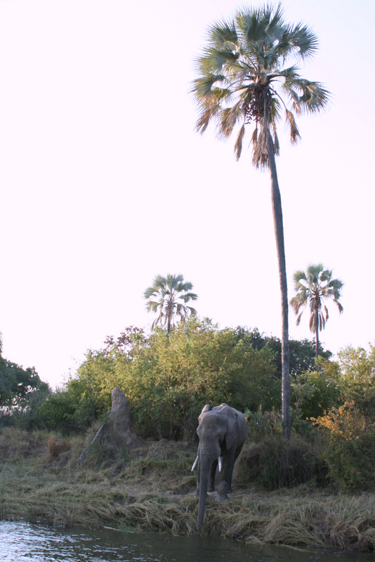 Elephant on the banks of the island in the middle of the Zambezi. It had just been banging it's head against the tree to get fruit