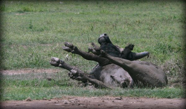 Rolling buffalo